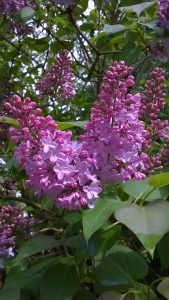 Lilac-in-flower-in-Dorset-one-of-the-memory-jogging-plants-in-the-post-on-leavesfrommygarden.co.uk