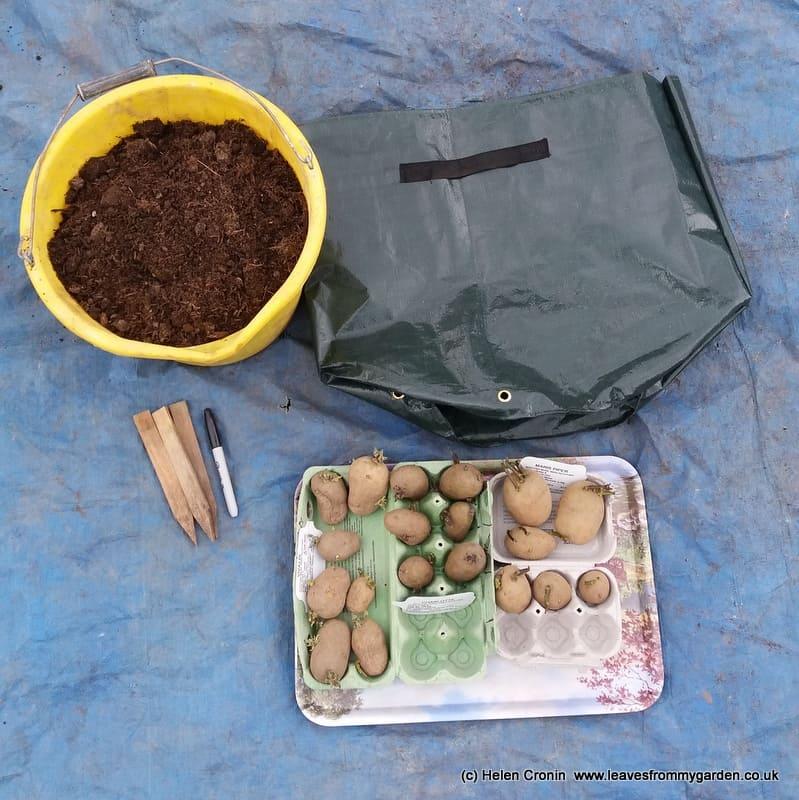 Sack planting Potatoes