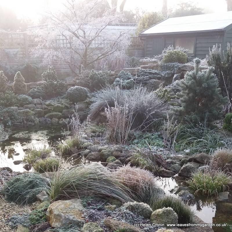 Dwarf Conifers on a frosty morning