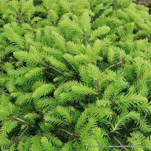 new growth on dwarf conifer