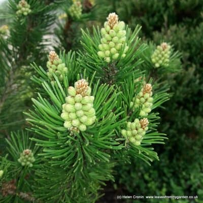 The Not-So-Boring Dwarf Conifer