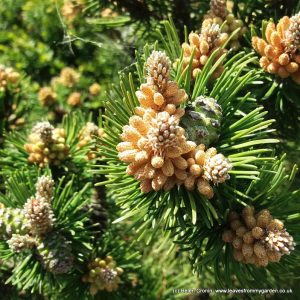 Pine cones forming around the buds of a Dwarf Conifer Pine