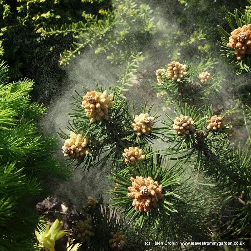 Pollen cloud from Pinus mugo Laurin