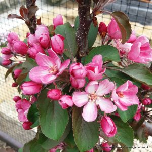 """The blossom on the Crab apple """"Laura"""""""