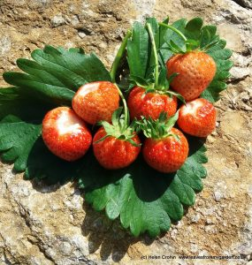 Strawberry harvest at Leaves From My Garden