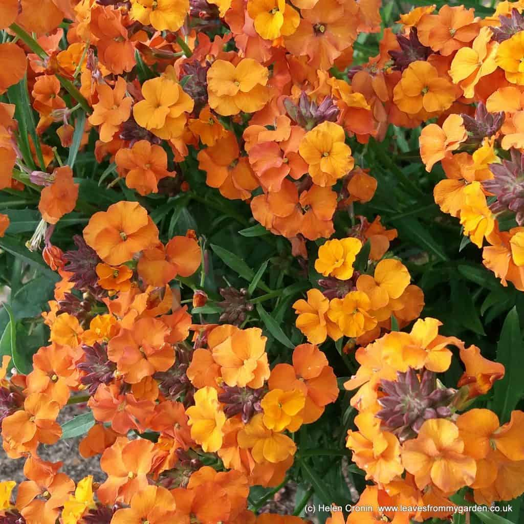 Erysimum Apricot Twist at www.leavesfrommygarden.co.uk