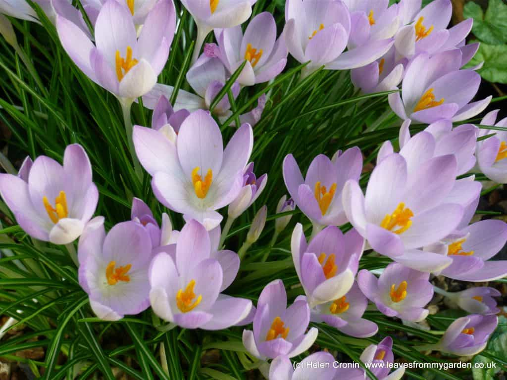 Early Spring Bulbs include Crocuses