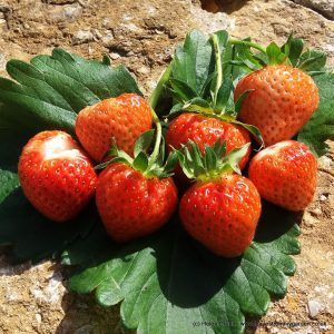 Homegrown strawberries have far more flavour than shop bought ones