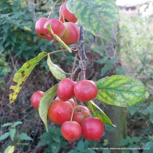 Crab Apple make a wonderful yellow Jelly, Read the recipe at lwww.leavesfrommygarden.co.uk
