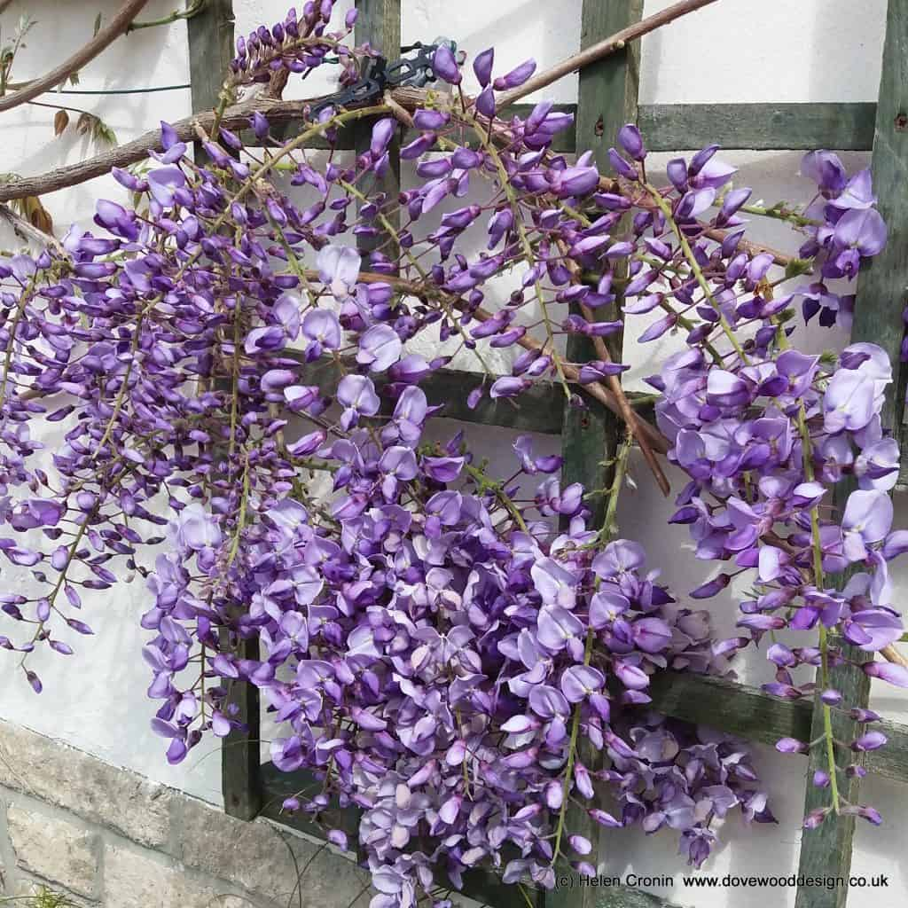 Kitchen Design On Instagram Beautiful Kitchen So Simple: Wisteria: Simple Guide To Pruning