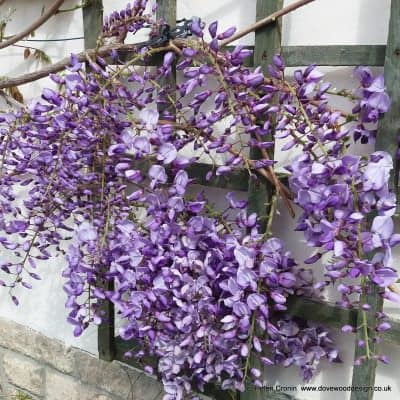 Wisteria: Simple Guide to Pruning