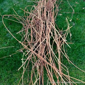 How to Put Wisteria Prunings to good use