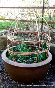 Basket Plant Guard using Wisteria prunings makes an effective and pretty protection around delicate stems